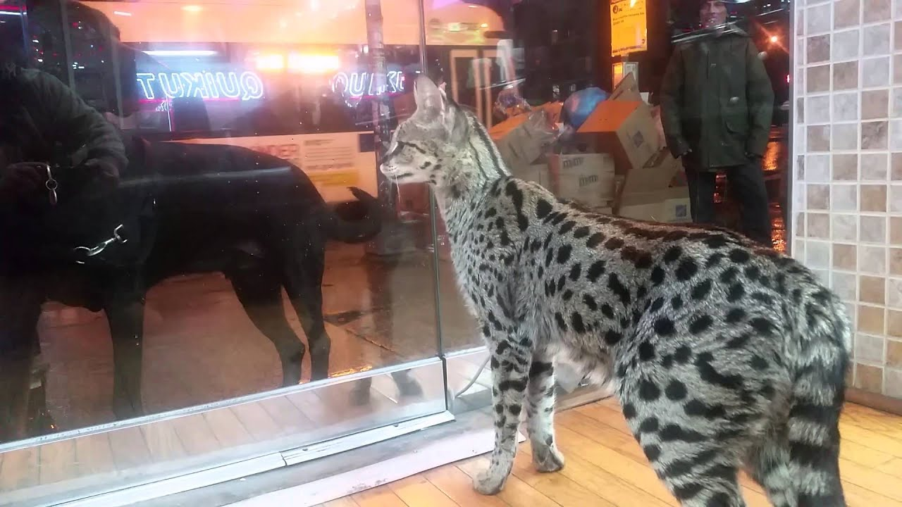 Savannah Cats Get Along With Dogs