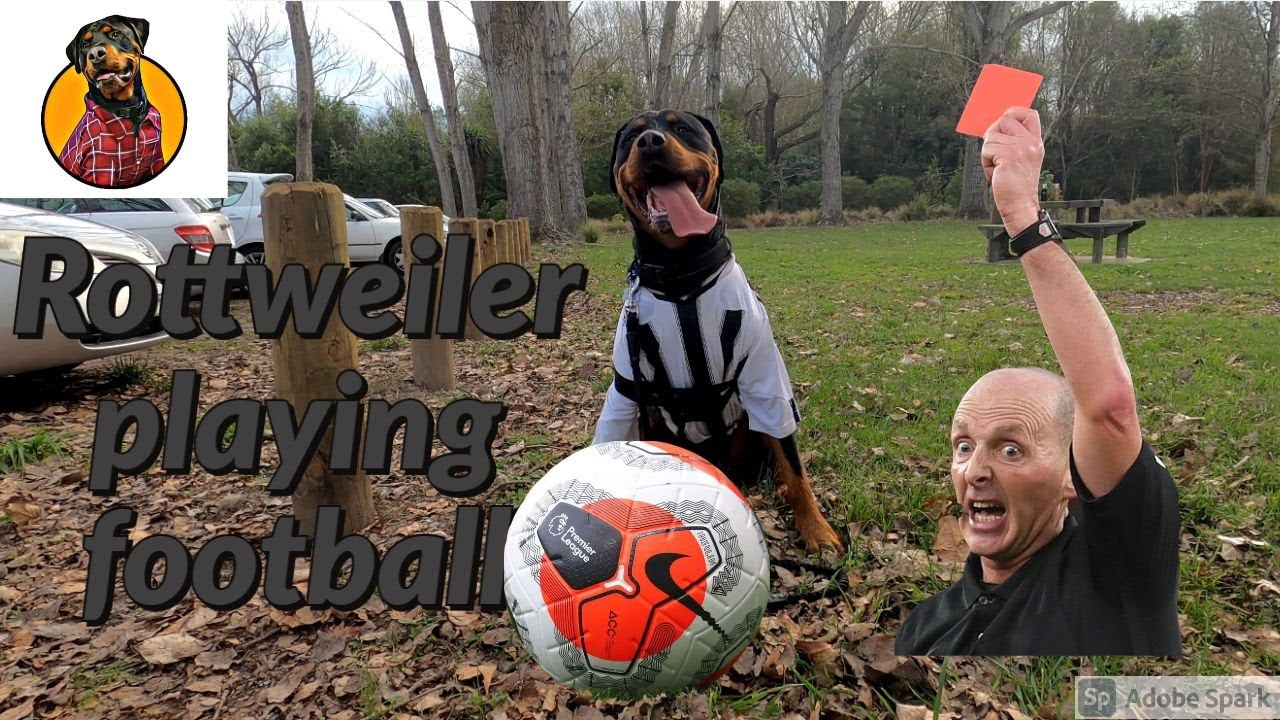 Rottweiler playing football   Sprout showing all his football skills   Sprout talking part 2