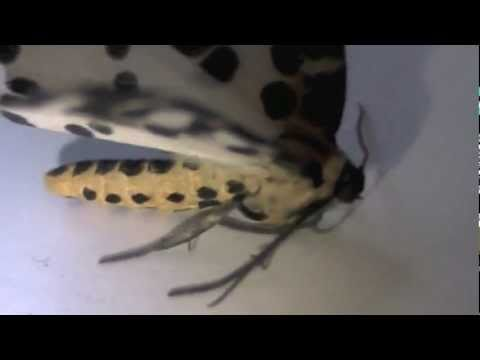 Awesome looking Magpie Moth!!