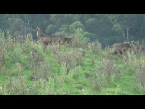 Rusa Deer (No Hunting Footage)