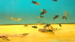 Гуппи и Моллинезии. Аквариумные рыбки. Аквариумистика.