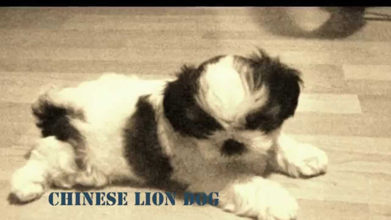 Shih Tzu Pafi 6 Weeks Old Youtube