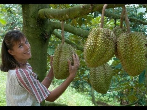 FRUTA CON OLOR A MIERDA. El durian. Una exquisitez del sudeste asiático