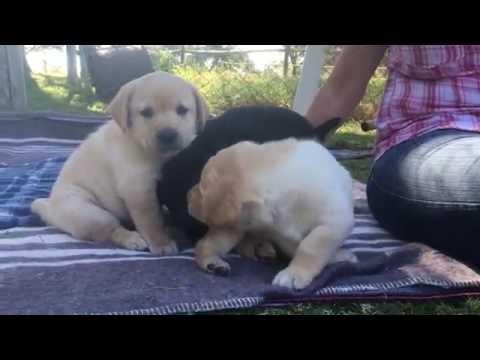 Labrador puppies zimbabwe