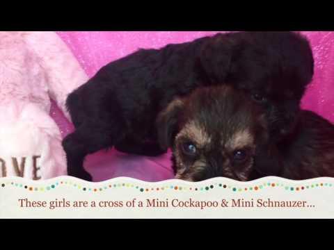 Sweet Cocker Schnoodle Puppies For Sale In VA
