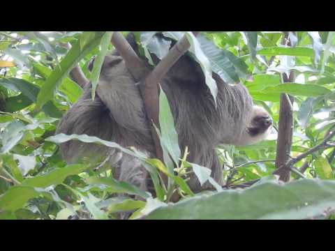 NIKON P900: Baby Sloth and Parent in Tree in Panama