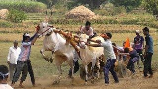 Powerful native bulls run in Teragaon bullock cart race