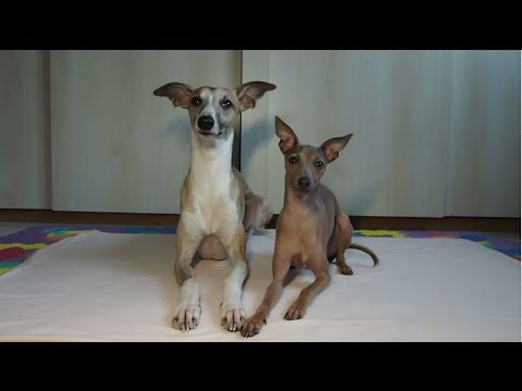 Dog tricks | Dolce the Whippet & Aslan the Italian greyhound
