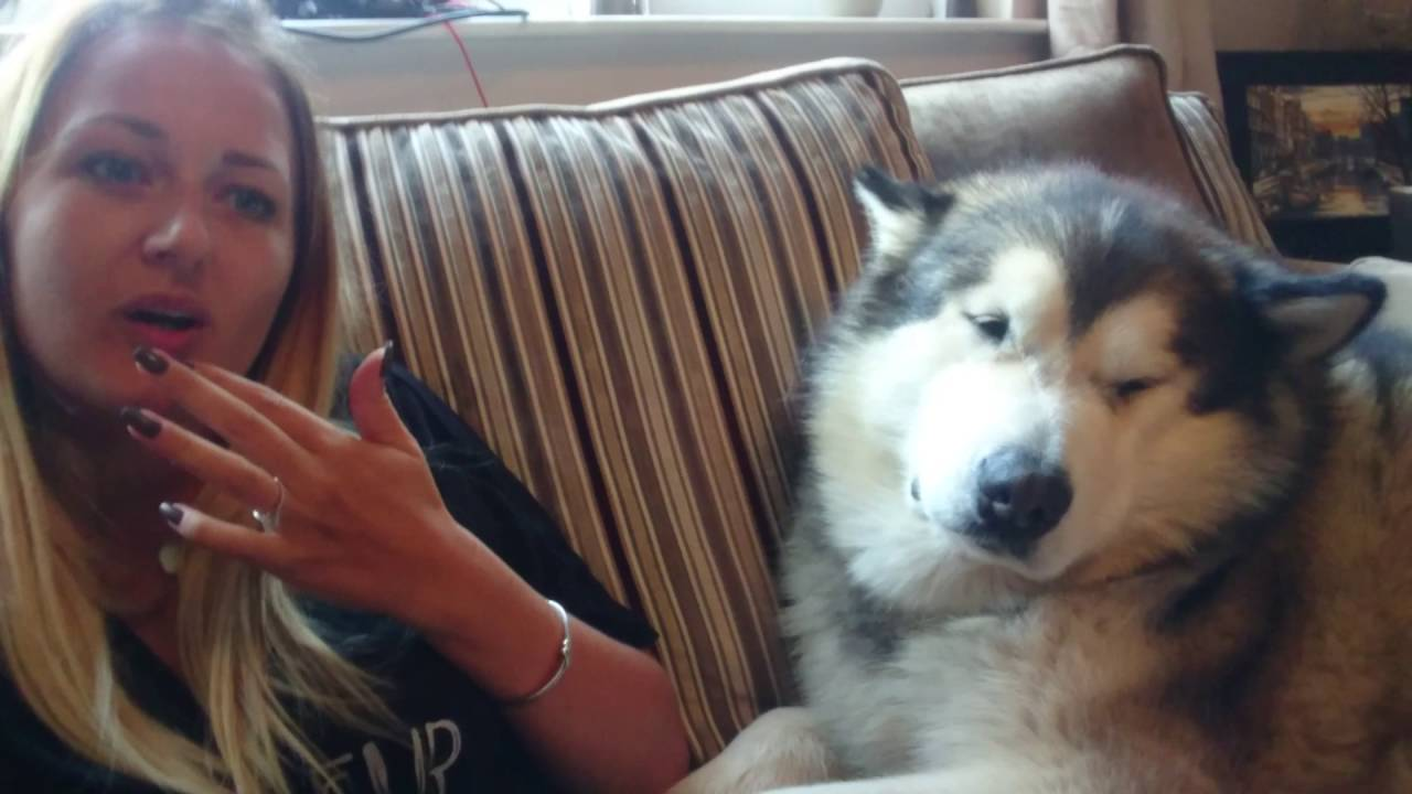 Sleepy Phil Alaskan Malamute Youtube Phil, an alaskan malamute looking dapper in a tie is causing a stir on tinder after someone created a profile for him. sleepy phil alaskan malamute
