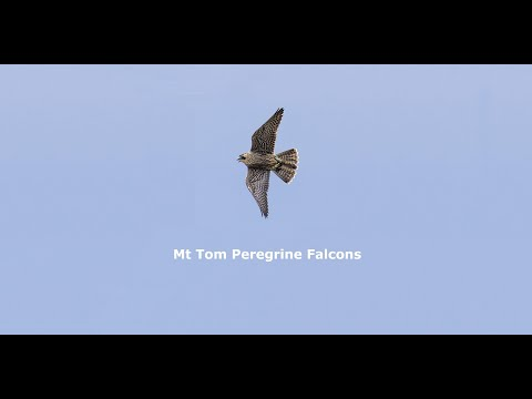 Mt Tom Peregrine Falcons