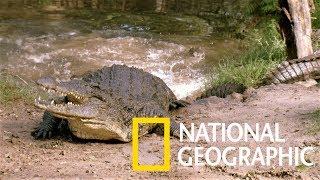 斑馬渡河,鱷魚在後!《國家地理》雜誌