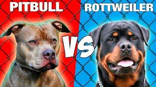 Pitbull vs Rottweiler  Quien Gana? ESPAÑOL