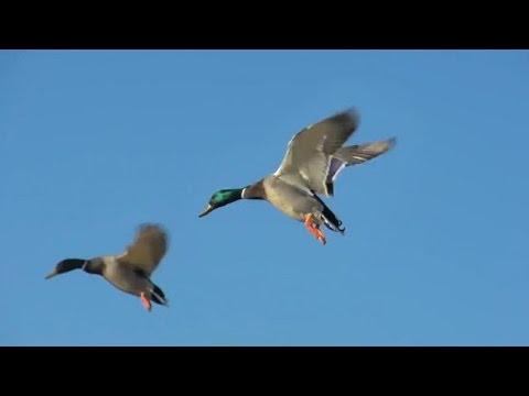 Yeşilbaş ve Kirik Ördek Avı