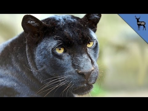 Black Panthers Don't Exist