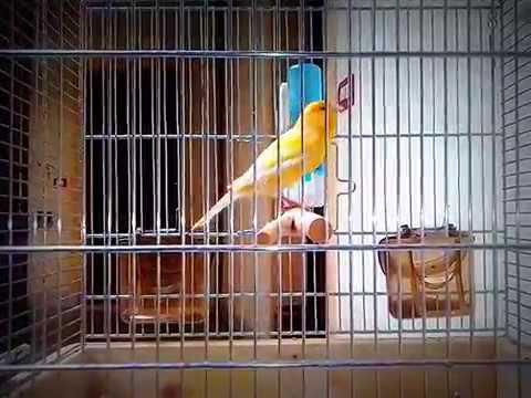 Il nostro canarino da canto