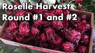 One Arizona Garden   Roselle Harvest