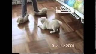Golden Retriever Puppy Attacks Slippers