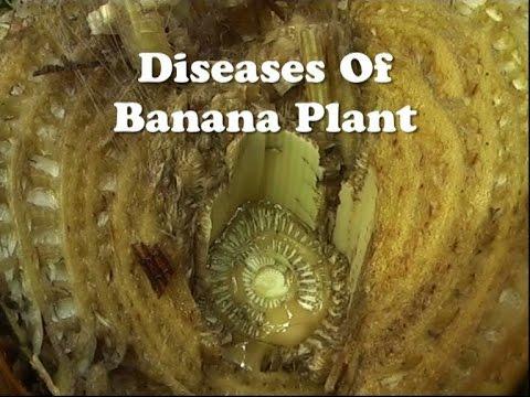 Diseases of Banana Plant