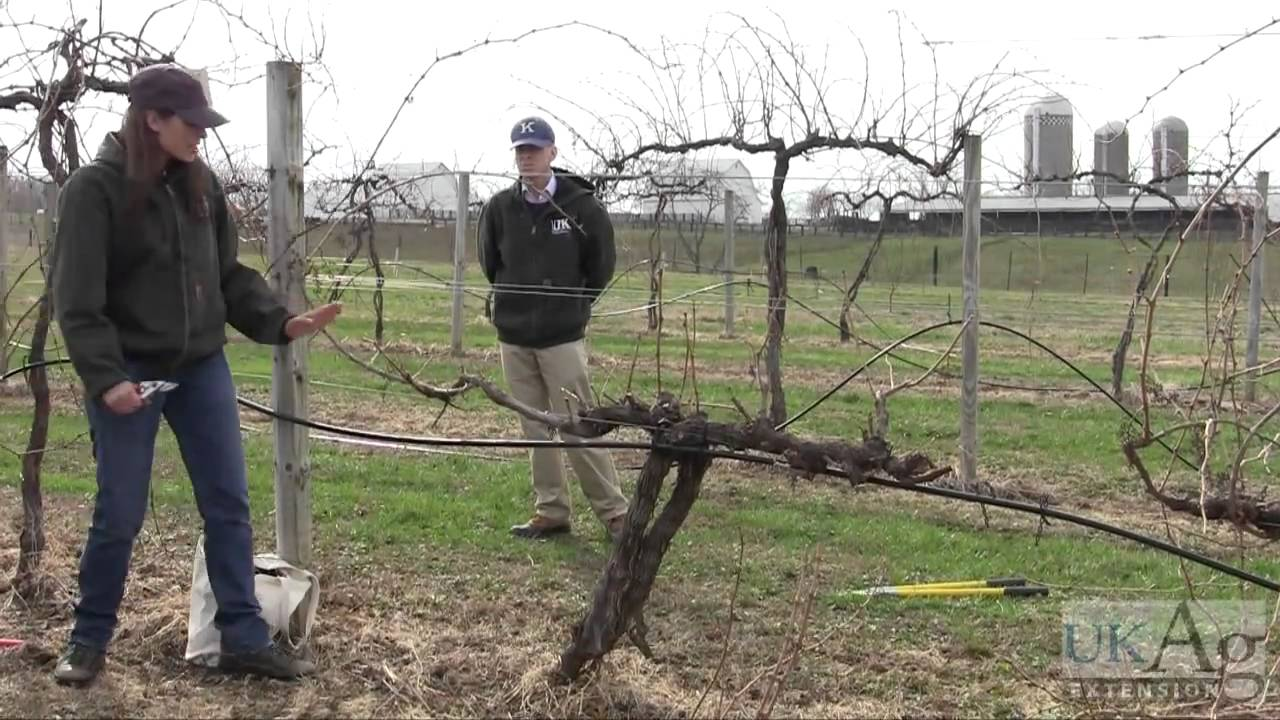 Grape vine pruning demonstration youtube - How to prune and train the grapevine ...