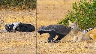 Ozzy Man Reviews: Honey Badger vs Python vs Jackal