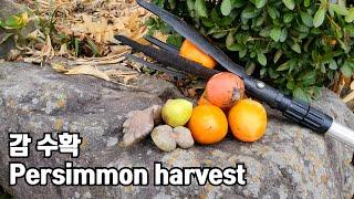 수확기 장대로 감수확 …