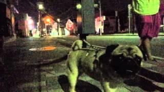 パグとの夜のお散歩を、パグと同じ目線で撮影してみました。 同じ目線だ...
