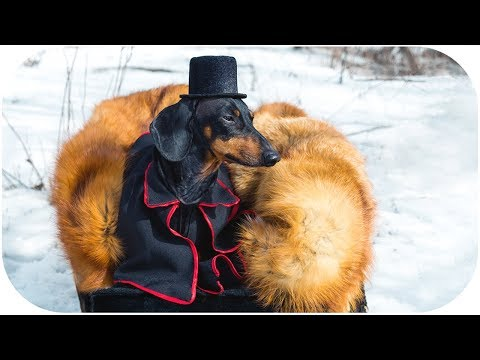 The duel of Onegin and Lensky by dachshund dog! An excerpt of opera Eugene Onegin - animal parody!