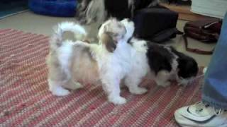 Harry The Havanese Dog's First Year