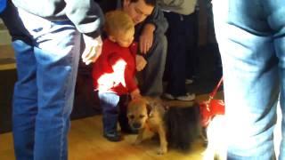 Border Terrier Bridget At Kutztown U With Kids