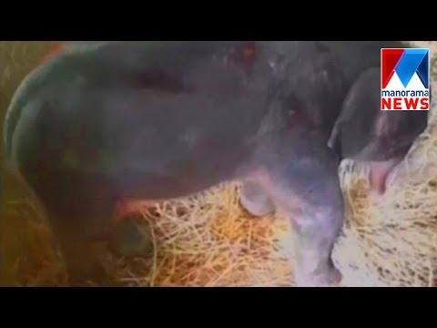 Elephant calf new guest in Kottoor elephant training center | Manorama News