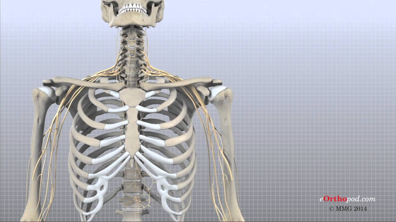 Cervical Spine Anatomy (eOrthopod) - YouTube