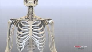 Cervical Spine Anatomy (eOrthopod)