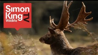 How to Watch and Photograph Fallow Deer