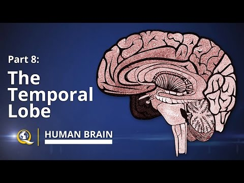 Temporal Lobe  - Human Brain Series - Part 8