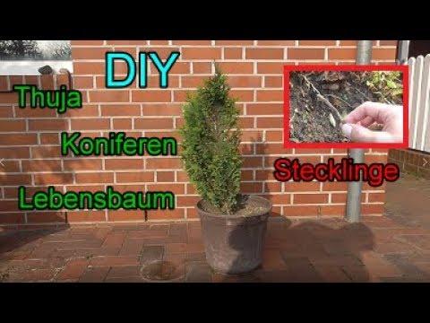 thuja stecklinge ganz einfach selber vermehren koniferen hecke ziehen pflanzen anleitung. Black Bedroom Furniture Sets. Home Design Ideas