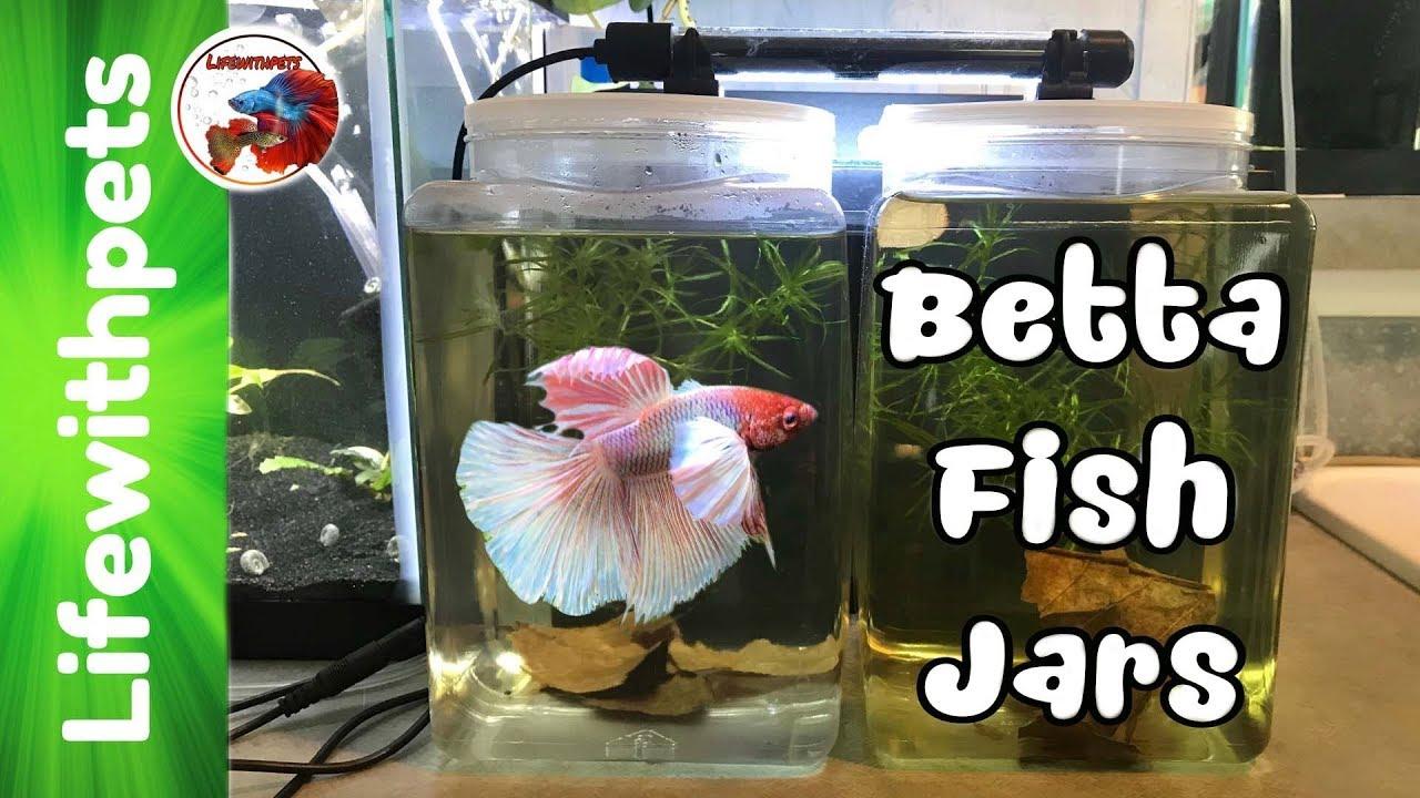 setting up one gallon betta fish jars youtube