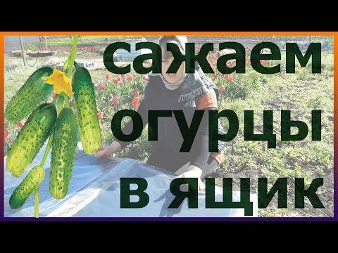 Огурцы в ящике мешке. Посадка подкормка огурцов. Как выращивать вырастить огурцы.