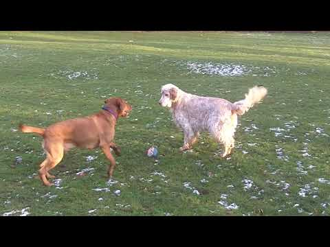 English Setter Otis (shattered) & Labrador Bernie whizzing.
