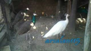 Peacocks as Pets (Pakistan)