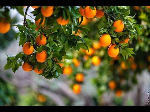 Как самому в домашних условиях вырастить мандарин из косточки?