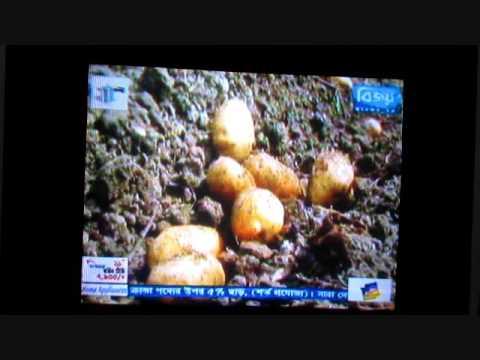 Bijoy tv News  Organic potato