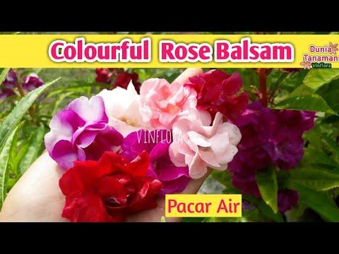 Aneka Warna Bunga Pacar Air Tumpuk Colourful Rose Balsam Impatiens Balsamina L Youtube