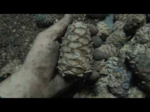 Как очистить кедровый орех от шишки
