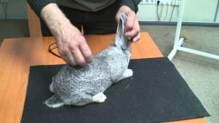 Семинар по кролиководству. Экспертиза кролика породы Советская шиншилла(, 2015-02-24T20:24:11.000Z)
