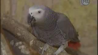 Лечение болезней волнистых попугаев