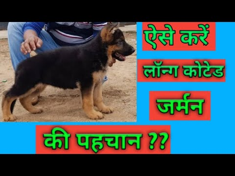 How to Check Pure Long Coated German sherphard Dog & Funny Moment Must watch