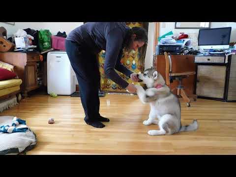 Alaskan Malamute Puppy Training Session