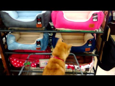 柴犬小春 どれにする?ふかふかベッドのお買い物!Dog ride in the cart