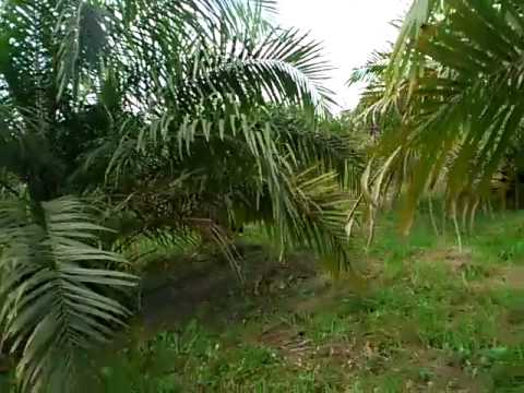 Oil palm farming in ghana