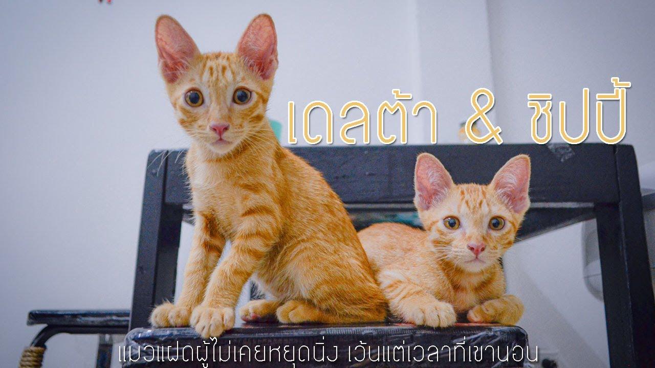 แมวส้มที่ขึ้นชื่อว่าทะเล้นที่สุด